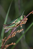 Little green grasshopper — Stock Photo