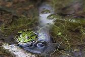 Rana verde — Foto de Stock