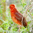 Northern Cardinal — Stock Photo #10830783