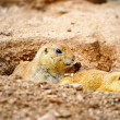 Two Prairie Dogs — Stock Photo