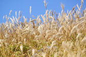 Silvergrass and blue sky — Stock Photo
