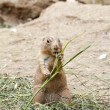black tailed prairie dog — Stock Photo