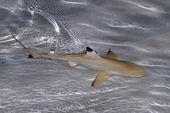 Baby shark — Stock Photo