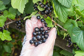 Picking of black currant — Stock Photo