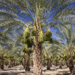 Date Palm Trees — Stock Photo #11395592