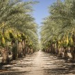 Date Palm Trees — Stock Photo
