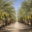 Date Palm Trees — Stock Photo #11395645