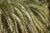árboles de palmera datilera — Foto de Stock