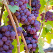 Wine grapes — Stock Photo #11074751