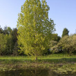 Waterside poplar — Stock Photo #10735923