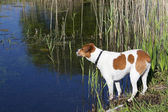 Dog by the waterside — Stock Photo
