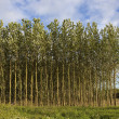 Young poplar trees in summer — Stock Photo