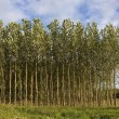 Young poplar trees in summer — Stock Photo #10914980