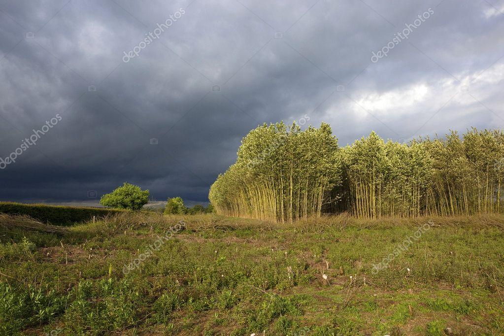 在夏天狂风暴雨的天空下在晴天杨树人工林的风景