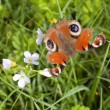 Peacock butterfly on milk maids — Stock Photo
