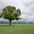 Agricultural landscape with oak tree — Stock Photo