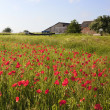 Field poppies — Foto Stock