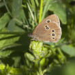 Ringlet butterfly — Stock Photo #11656467