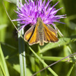 Stock Photo: Skipper butterfly on knapweed