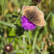 Ringlet butterfly — Stock Photo #11797749