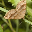Stock Photo: Triple bar moth