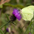 Stock Photo: Male brimstone butterfly