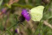 A male brimstone butterfly — Stock Photo