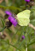 Brimstone butterfly on knapweed — Stock Photo