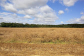 Ripening canola field — Stock Photo