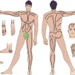 Stock Vector: Full length (front & back) views of standing naked mwith massaging lines