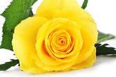 Желтый повысился — Стоковое фото