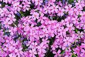 Purple phlox subulata — Stock Photo