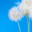 Dandelions — Stock Photo #10996056