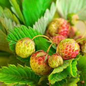 Unripe strawberry — Stock Photo