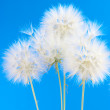 Dandelions — Stock Photo #11101974