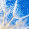 Dandelion close-up - Stockfoto