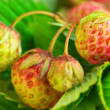 Unripe strawberry - Stock Photo