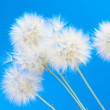Dandelions — Stock Photo #11617067