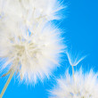 Dandelions close-up - Stock Photo