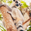 Ring-tailed lemur on the tree — Stock Photo