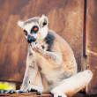 Stock Photo: Ring-tailed lemur licking paw