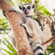 Ring-tailed lemur on the tree — 图库照片