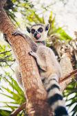 Lemure dalla coda ad anelli sull'albero — Foto Stock