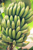 Bunch of young green bananas — Stock Photo