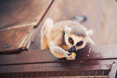 Ring-tailed lemur feeding — Stock Photo