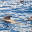 Group of pilot whales in the ocean — Stock Photo #12170490
