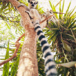 Ring-tailed lemur on the tree - Stock Photo