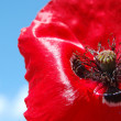 Royalty-Free Stock Photo: Poppy cross macro