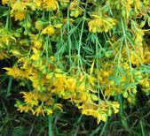 St Johns Wort Flower — Stock Photo