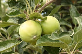 Apples on a branch in july — Stock Photo